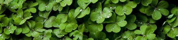 green clovers sprinkled with dew drops